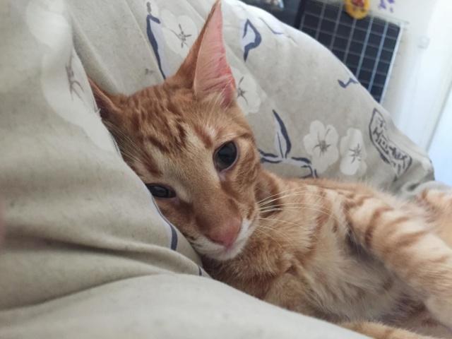 DRAGOMIR (ex MR LOUIS) - magnifique chat mâle léopard, né fin mai 2018 (BUCAREST) - EN FA chez Abysse (92) - ADOPTE PAR CYRIL (92) Ptit_l10