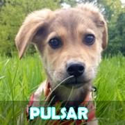 Association Remember Me France : sauver et adopter un chien roumain Pulsar21