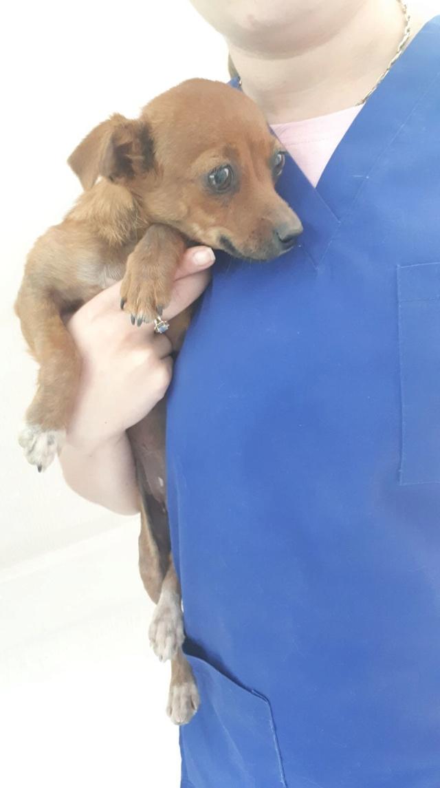 PEACH (ex RATATOUILLE) - femelle, croisée pinsher, de taille mini, née environ en janvier 2018 - PASCANI - REMEMBER ME - ADOPTEE PAR ANGELIQUE (74)  Ratato10