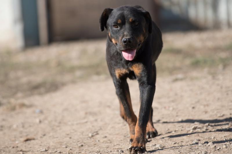 RIHANNA - femelle Rottweiler de taille moyenne, née environ en  2015 (PASCANI) - adoptée par Jessica (Belgique) Rihann11