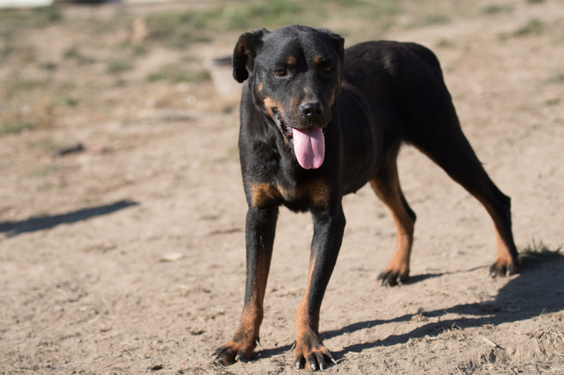 RIHANNA - femelle Rottweiler de taille moyenne, née environ en  2015 (PASCANI) - adoptée par Jessica (Belgique) Rihann12