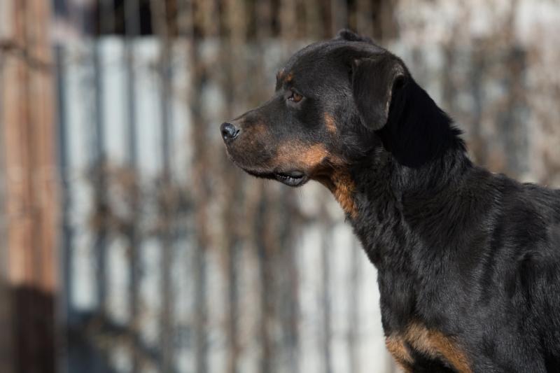 RIHANNA - femelle Rottweiler de taille moyenne, née environ en  2015 (PASCANI) - adoptée par Jessica (Belgique) Rihann13
