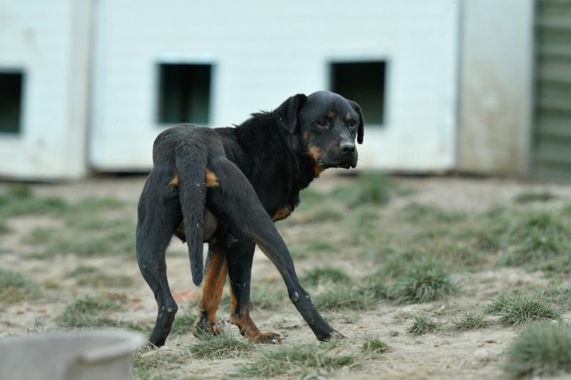 RIHANNA - femelle Rottweiler de taille moyenne, née environ en  2015 (PASCANI) - adoptée par Jessica (Belgique) Rihann14