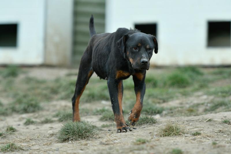 RIHANNA - femelle Rottweiler de taille moyenne, née environ en  2015 (PASCANI) - adoptée par Jessica (Belgique) Rihann15