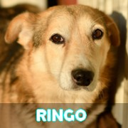 Les adultes de taille moyenne en Roumanie en un clin d'oeil Ringo11