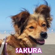 Association Remember Me France : sauver et adopter un chien roumain Sakura31