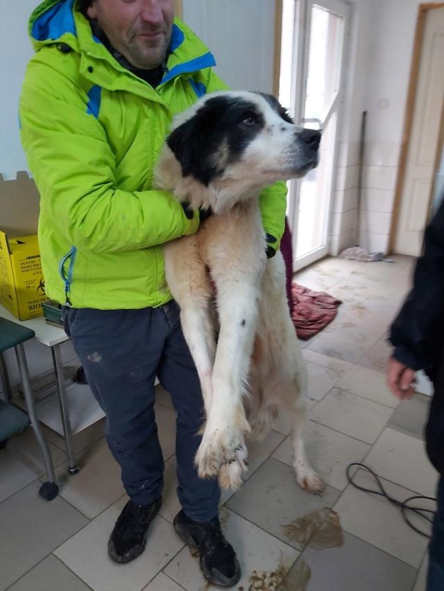 SHANA - femelle, croisée berger de bucovine, de grande taille - née environ en février 2012 - REMEMBER ME LAND - Adoptée par Fabienne (36)  Shana111