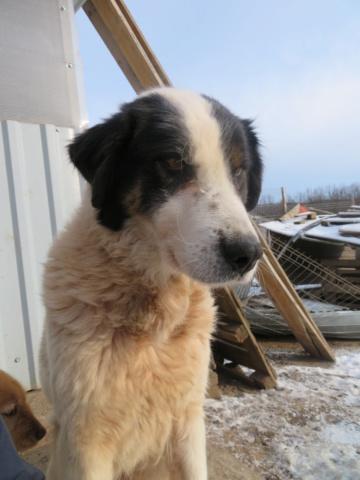 SHANA - femelle, croisée berger de bucovine, de grande taille - née environ en février 2012 - REMEMBER ME LAND - Adoptée par Fabienne (36)  Shana_11