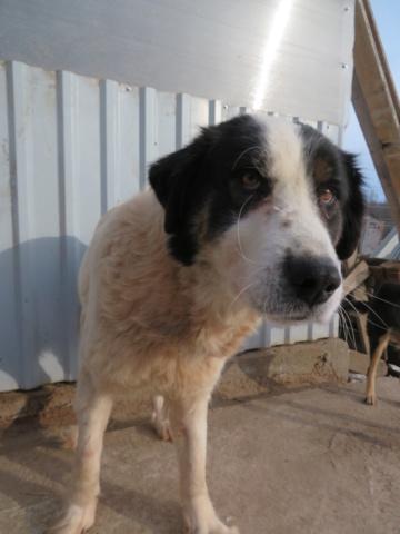 SHANA - femelle, croisée berger de bucovine, de grande taille - née environ en février 2012 - REMEMBER ME LAND - Adoptée par Fabienne (36)  Shana_12