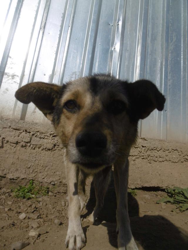 SHIRLEY - femelle croisée, de taille moyenne, née environ en 2011 - REMEMBER ME LAND Shirle15