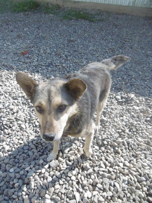 SHIRLEY - femelle croisée, de taille moyenne, née environ en 2011 (PASCANI) - REMEMBER ME LAND Shirle19