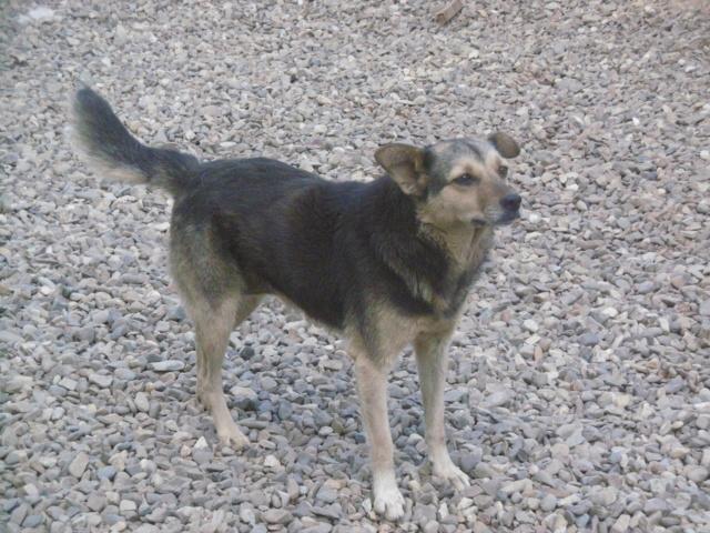 SHIRLEY - femelle croisée, de taille moyenne, née environ en 2011 (PASCANI) - REMEMBER ME LAND Shirle25