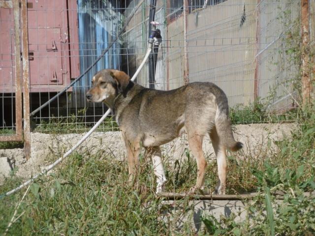 SIRTAKI - mâle croisé de grande taille, né en 2015 (PASCANI) - REMEMBER ME LAND - Page 2 Sirtak20