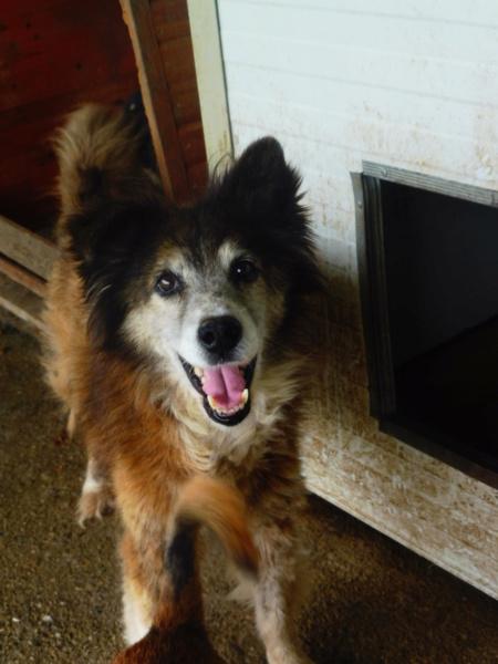 OLLY (ex STARSHIP) - mâle croisé Tervueren, âgé, de taille moyenne, né environ en avril 2008  (PASCANI) - REMEMBER ME LAND - Adopté par Maud (71) Starsh12