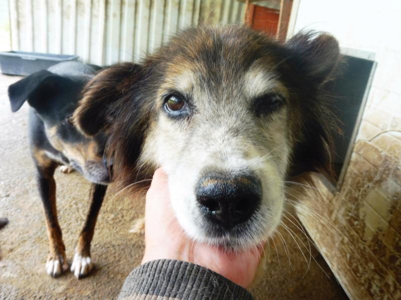 OLLY (ex STARSHIP) - mâle croisé Tervueren, âgé, de taille moyenne, né environ en avril 2008  (PASCANI) - REMEMBER ME LAND - Adopté par Maud (71) Starsh13