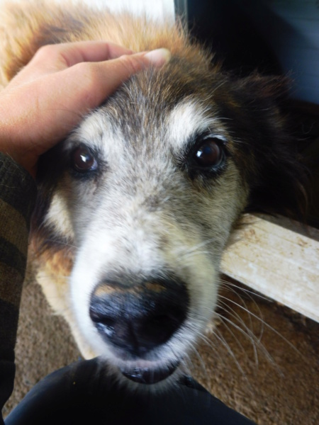 OLLY (ex STARSHIP) - mâle croisé Tervueren, âgé, de taille moyenne, né environ en avril 2008  (PASCANI) - REMEMBER ME LAND - Adopté par Maud (71) Starsh14