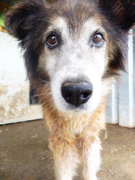 OLLY (ex STARSHIP) - mâle croisé Tervueren, âgé, de taille moyenne, né environ en avril 2008  (PASCANI) - REMEMBER ME LAND - Adopté par Maud (71) Starsh18
