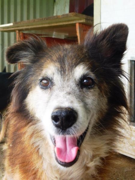 OLLY (ex STARSHIP) - mâle croisé Tervueren, âgé, de taille moyenne, né environ en avril 2008  (PASCANI) - REMEMBER ME LAND - Adopté par Maud (71) Starsh21