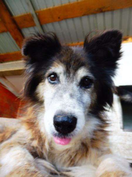OLLY (ex STARSHIP) - mâle croisé Tervueren, âgé, de taille moyenne, né environ en avril 2008  (PASCANI) - REMEMBER ME LAND - Adopté par Maud (71) Starsh29