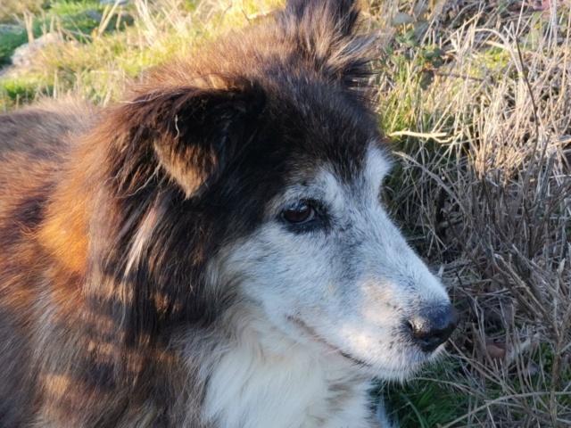 OLLY (ex STARSHIP) - mâle croisé Tervueren, âgé, de taille moyenne, né environ en avril 2008  (PASCANI) - REMEMBER ME LAND - Adopté par Maud (71) - Page 4 Starsh42