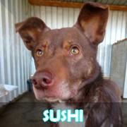 Association Remember Me France : sauver et adopter un chien roumain Sushi15