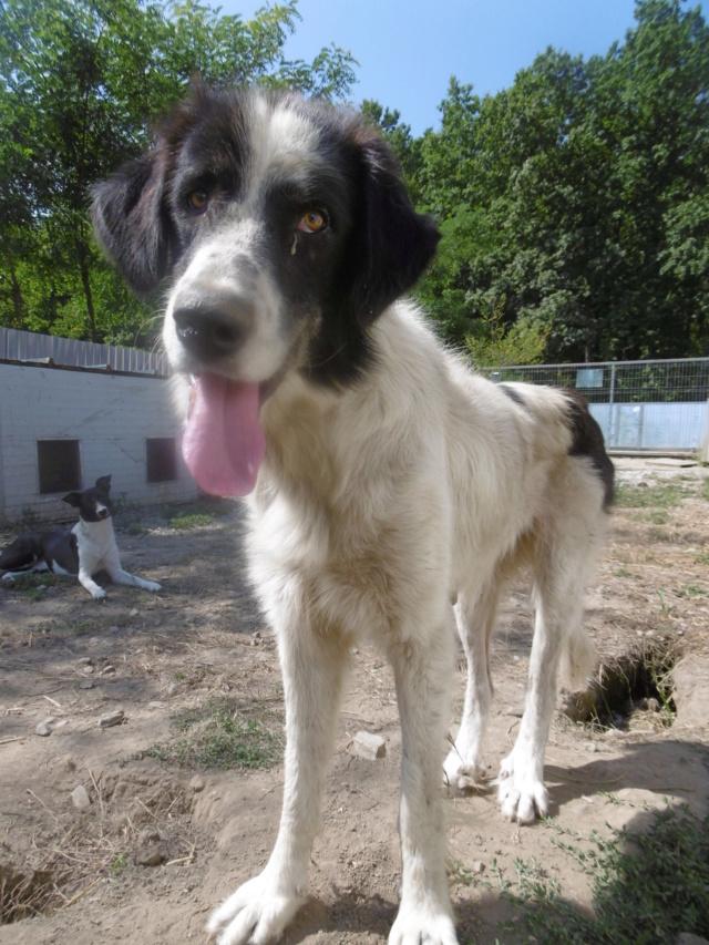 HOPE (ex TALISMANE) - femelle berger de bucovine, de grande taille - née environ août 2017 -REMEMBER ME LAND - ADOPTEE PAR AURELIE (BELGIQUE) Talism31