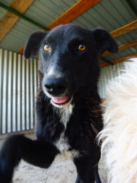 TASMANIAN - joli mâle croisé de taille moyenne, né avril 2017.  (PASCANI) - REMEMBER ME LAND Tasman16
