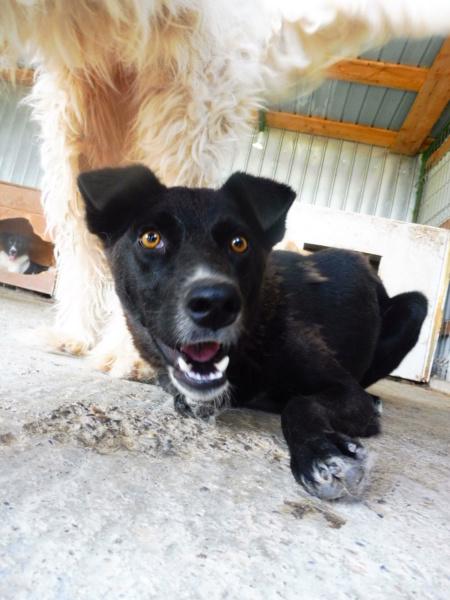 TASMANIAN - joli mâle croisé de taille moyenne, né avril 2017.  (PASCANI) - REMEMBER ME LAND Tasman17