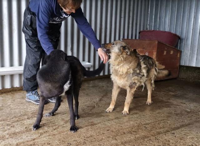 TASMANIAN - joli mâle croisé de taille moyenne, né avril 2017.  (PASCANI) - REMEMBER ME LAND Tasman33