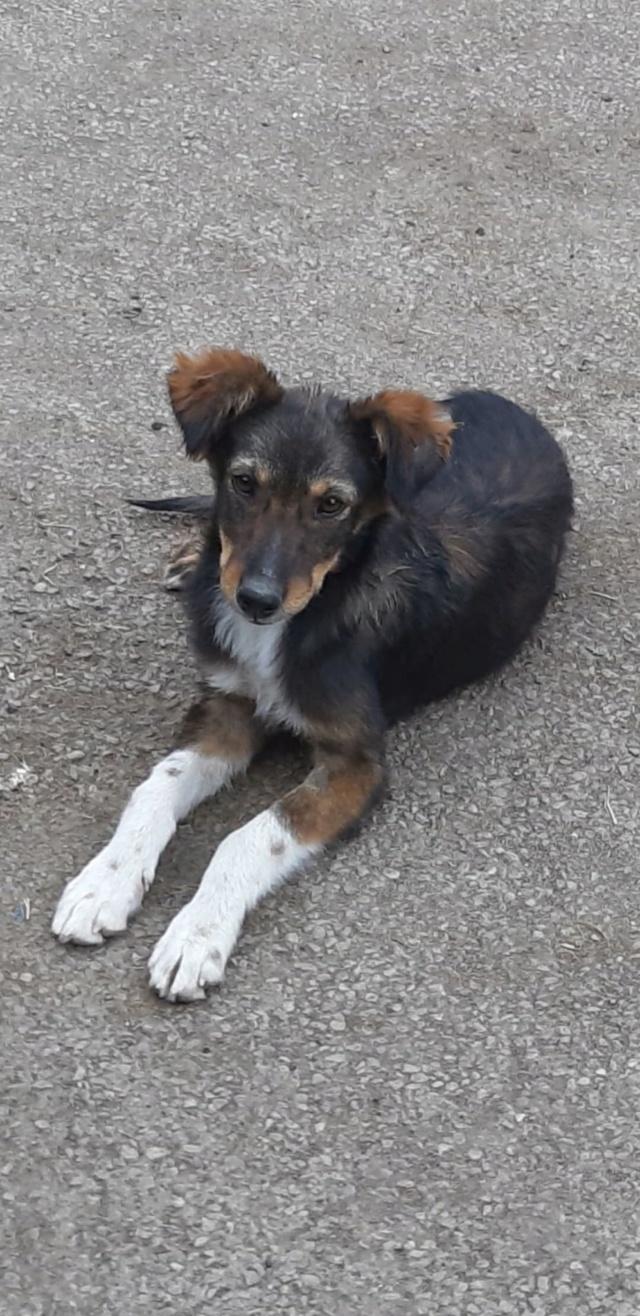MAYA (ex TESLA) - Chiot femelle - taille moyenne à l'âge adulte (fourrière de Golesti) - Née environ mi avril 2019 - Adoptée par Céline (88) Tesla410