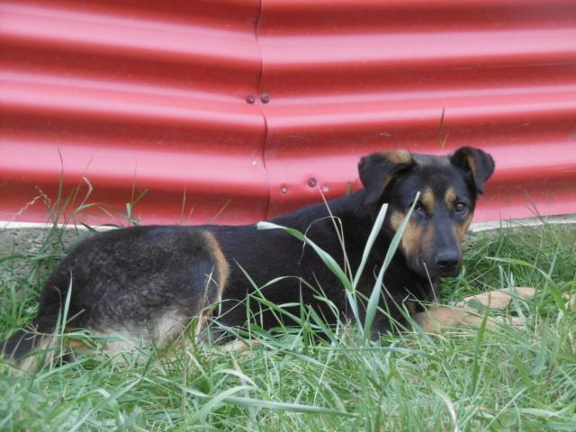 TINA (ex THEA) - femelle croisée, borgne, de taille moyenne, née environ mai 2014 - REMEMBER ME LAND - ADOPTEE PAR MURIEL (28)  Thea_411