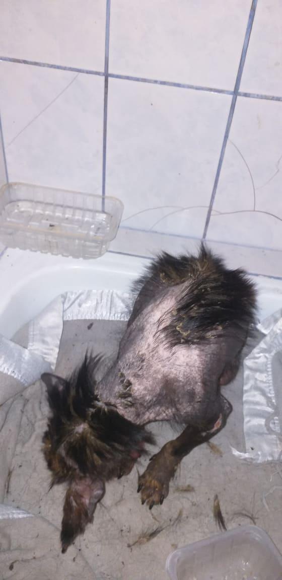 PTITLOUP (ex TIGANU) - Mâle, croisé de petite taille - né environ en novembre 2011 - Adopté par Gilles (69)  Tiganu10
