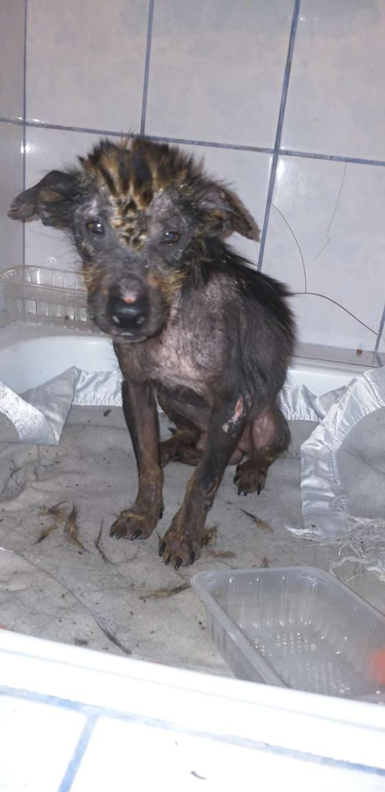 PTITLOUP (ex TIGANU) - Mâle, croisé de petite taille - né environ en novembre 2011 - Adopté par Gilles (69)  Tiganu11