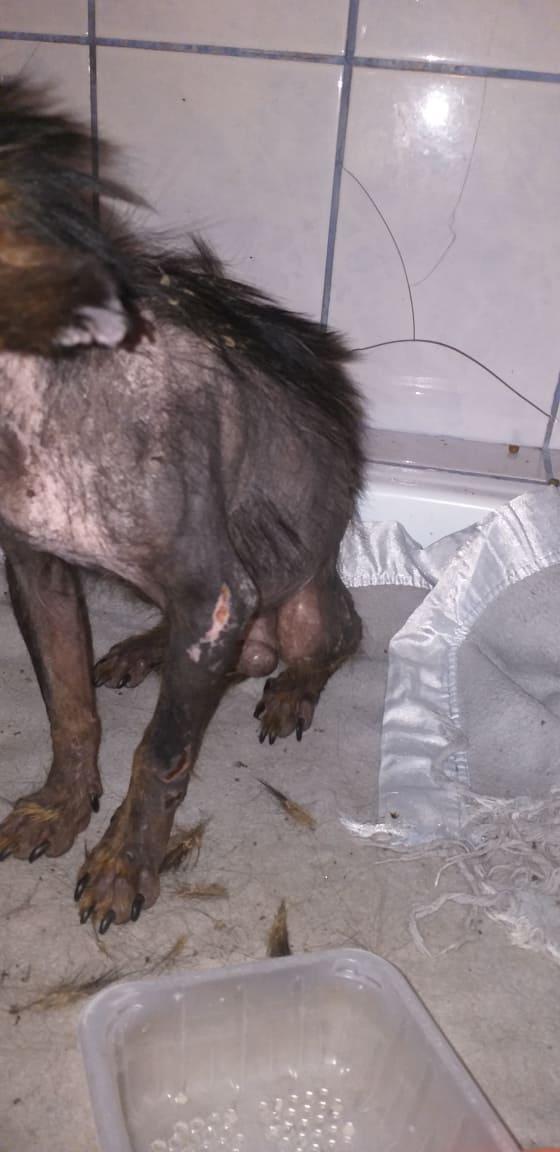 PTITLOUP (ex TIGANU) - Mâle, croisé de petite taille - né environ en novembre 2011 - Adopté par Gilles (69)  Tiganu12