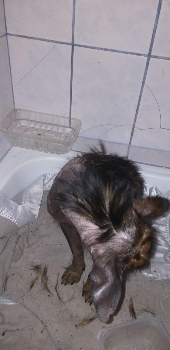 PTITLOUP (ex TIGANU) - Mâle, croisé de petite taille - né environ en novembre 2011 - Adopté par Gilles (69)  Tiganu15