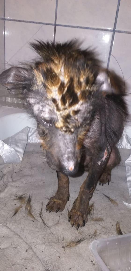 PTITLOUP (ex TIGANU) - Mâle, croisé de petite taille - né environ en novembre 2011 - Adopté par Gilles (69)  Tiganu16