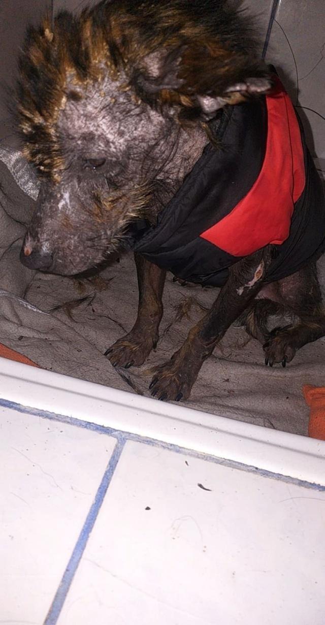 PTITLOUP (ex TIGANU) - Mâle, croisé de petite taille - né environ en novembre 2011 - Adopté par Gilles (69)  Tiganu18