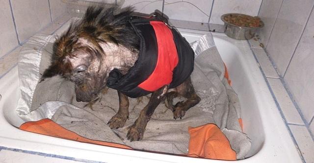 PTITLOUP (ex TIGANU) - Mâle, croisé de petite taille - né environ en novembre 2011 - Adopté par Gilles (69)  Tiganu19