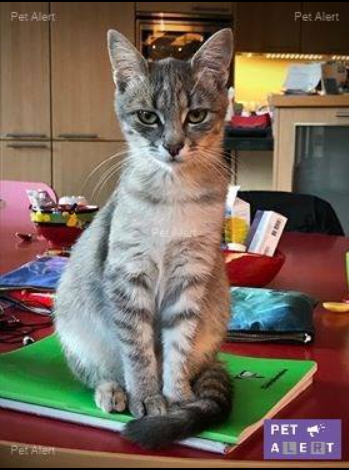 Miss TIGRIS - chat femelle, née en octobre 2017 - en FA chez Abysse (92) - Adoptée par Anne (Belgique) - !! EN FUGUE HELP !! - Page 2 Tigris10
