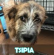 Les chiots en roumanie en un clin d'oeil  Tsipia50