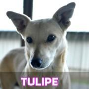 Les adultes de petite taille en Roumanie en un clin d'oeil Tulipe23