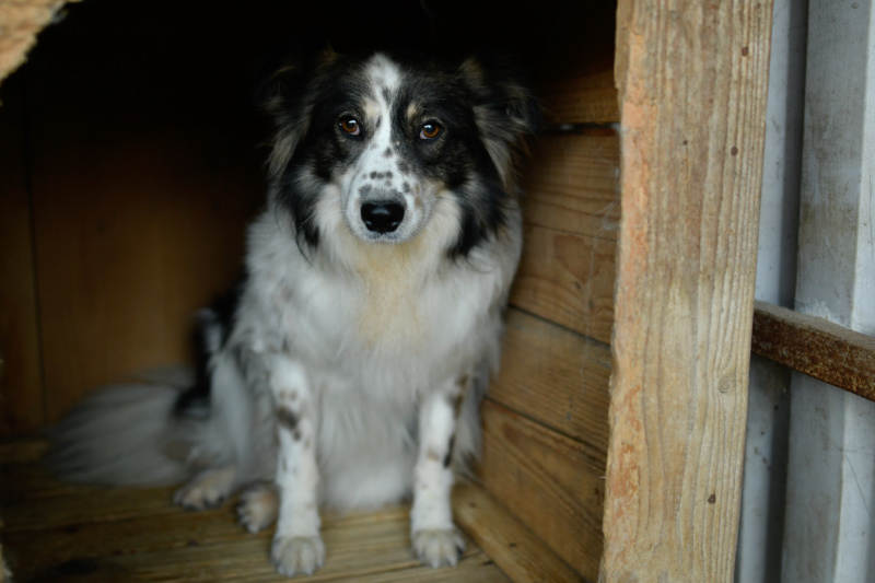 TYRION - x border collie 7 ans - Asso Remember Me (Roumanie) Tyrion29