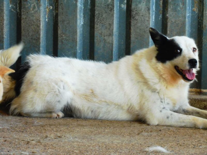 VOLGA - femelle croisée de taille moyenne, née env 2011 Sociable et douce (PASCANI) - REMEMBER ME LAND - DECEDEE Volga_16