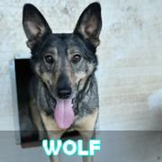 Association Remember Me France : sauver et adopter un chien roumain Wolf12