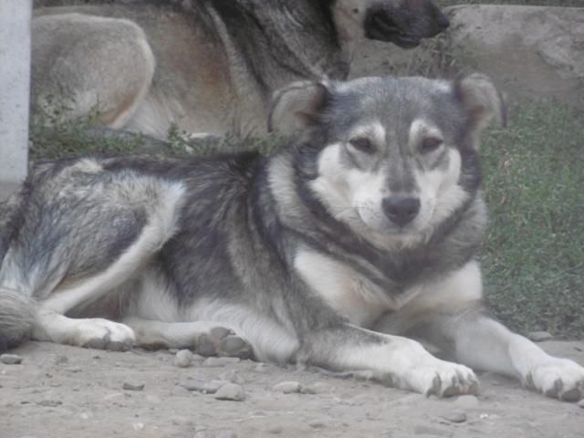 WOLFINE -  femelle croisée de taille moyenne, née environ mi avril 2012 - REMEMBER ME LAND - Adoptée par Remy (68)  Wolfin19