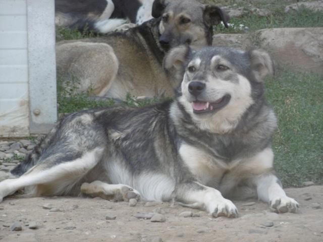 WOLFINE -  femelle croisée de taille moyenne, née en 2012 (PASCANI) - REMEMBER ME LAND Wolfin20