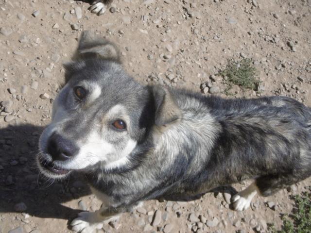 WOLFINE -  femelle croisée de taille moyenne, née en 2012 (PASCANI) - REMEMBER ME LAND Wolfin26