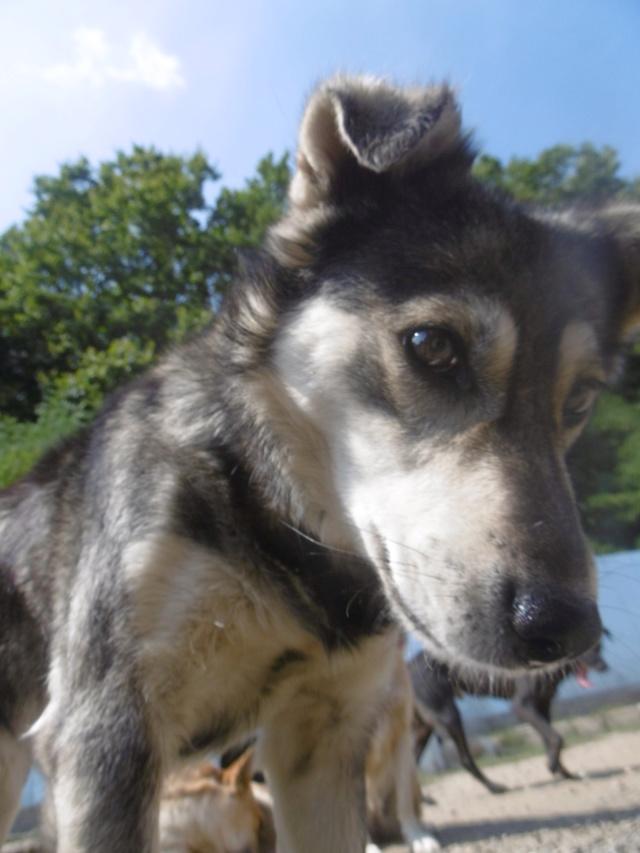 WOLFINE -  femelle croisée de taille moyenne, née environ mi avril 2012 - REMEMBER ME LAND - Adoptée par Remy (68)  Wolfin27