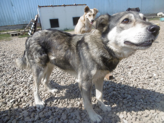 WOLFINE -  femelle croisée de taille moyenne, née environ mi avril 2012 - REMEMBER ME LAND - Adoptée par Remy (68)  Wolfin29