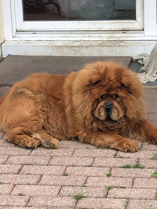 WOOKIE, femelle chow chow, taille moyenne née env 2011 (Pascani)- REMEMBER ME LAND - Adoptée par Sonia (dpt57) - Page 4 Wookie13